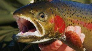 poisson-truite